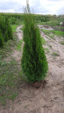 Tuje Tuja 140 cm Szmaragd Ogród Rośliny Sadzenie