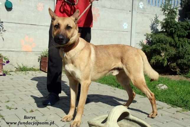 Cudowny psiak w typie owczarka belgijskiego szuka PILNIE dobrego domku