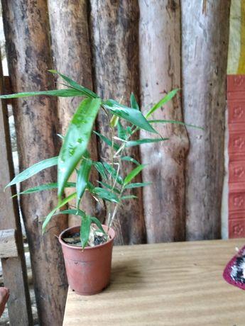 бамбук росток