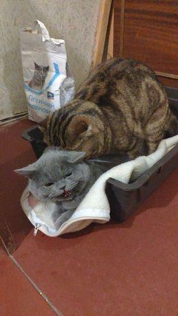 Вязка кот ищет кошку ( шотландский вислоухий )