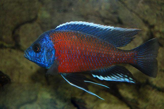 Pyszczaki Borleyi młode ryby Malawi
