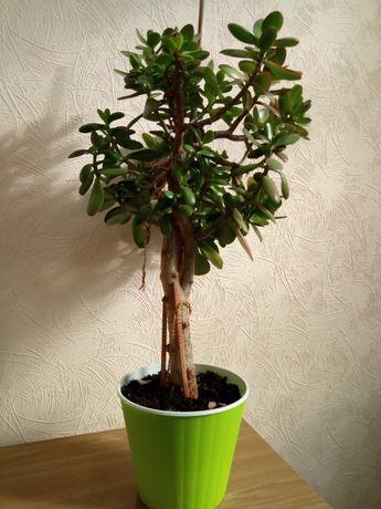 Продам цветок Денежное дерево