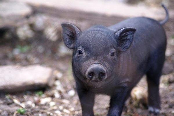 Поросята свини вьетнамские порося свиня