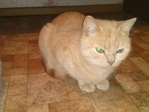 Персиковый котик от британки