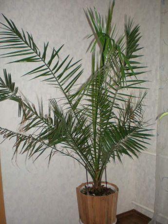 продам пальму 2 метра