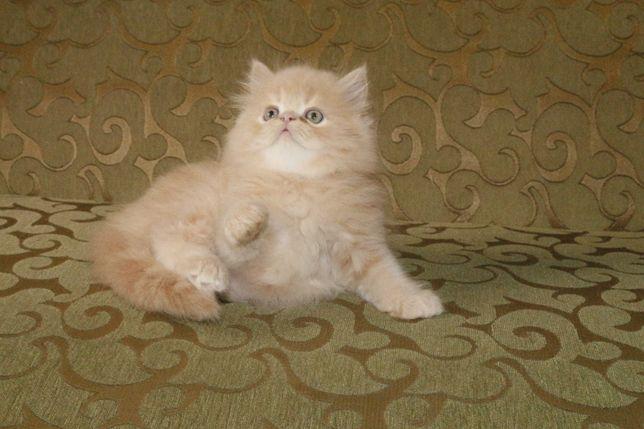 Умопомрачительный персидский котик