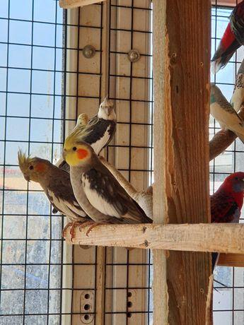 Papugi faliste i nimfy  młode