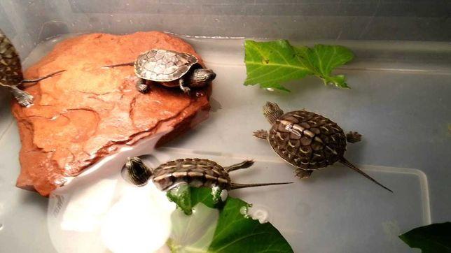 żółw mauremys sinensis