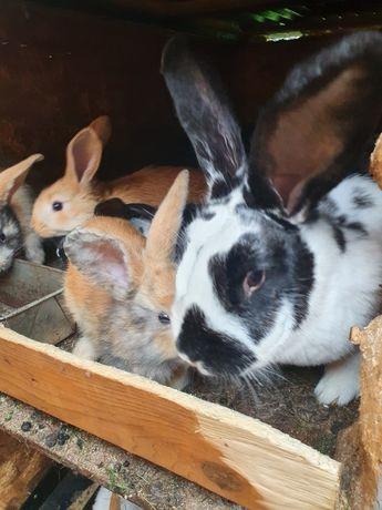 Zajace hodowlane