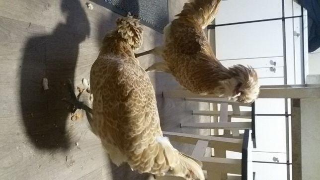 czubatka wielbłądzia jaja wysyłam