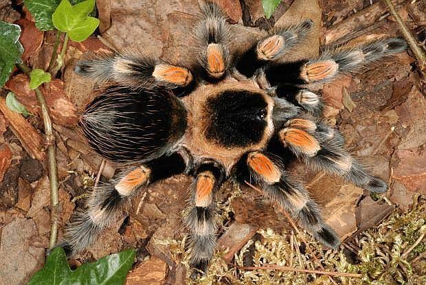 паук птицеед для новичков Brachypelma Smithi