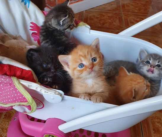 Koty,kotki brytyjskie z rodowodem zapraszam