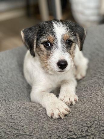 Parson russell terrier- gotowy do odbioru