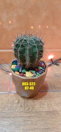 Кактусы домашние. Комнатные растения