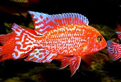 Aulunocara Seifert i Coral Red Malawi Pyszczaki Olsztyn sklep Pirania