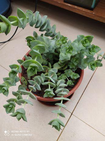 Planta suculenta vaso grandinho