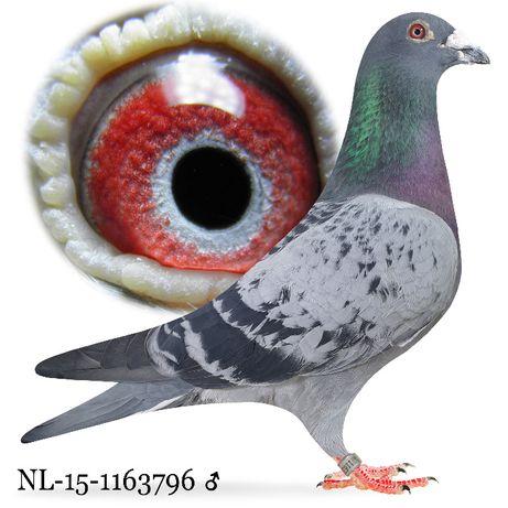 Młode 2021 Para nr 8 Janssen-Stok gołąb gołębie pocztowe do lotu