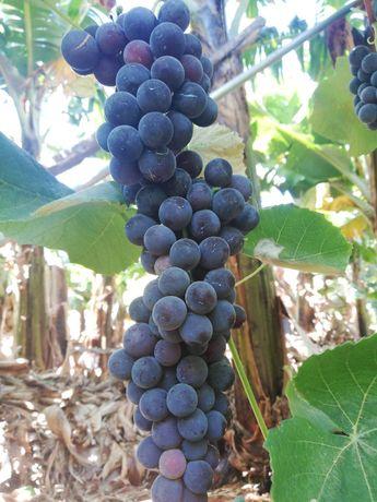 Vendesse uvas para típico vinho caseiro.