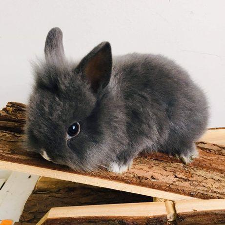 Vendo coelhos anões muito bonitos e meigos