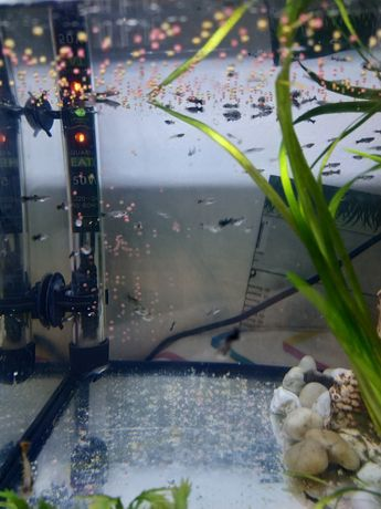 Rybki akwariowe gupik