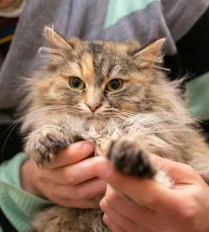 Пушистая кошка, пестрая, очень красивая, стерилизована, до 1 г