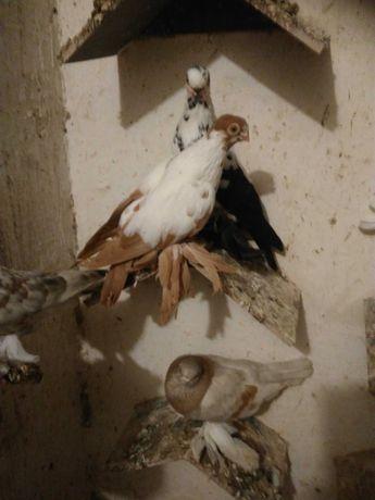 Gołębie motyle warszawskie