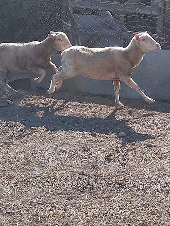Ovelhas de carne