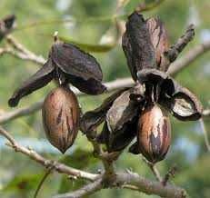 Саженцы ореха пекан(Кария илинойская)