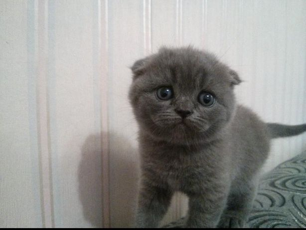 Шотландские вислоухие (прямоухие) котята котёнок