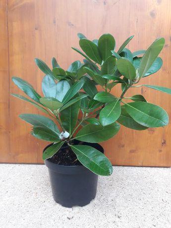 Rododendron w odmianach