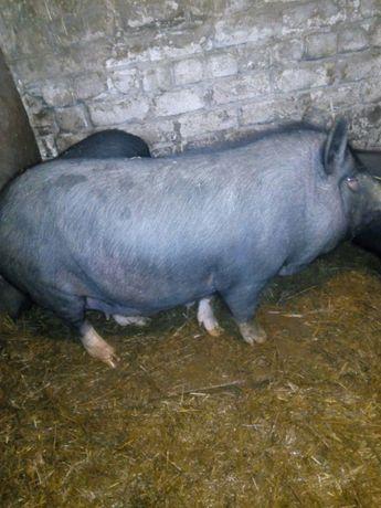 Продам вьетнамскую свинку