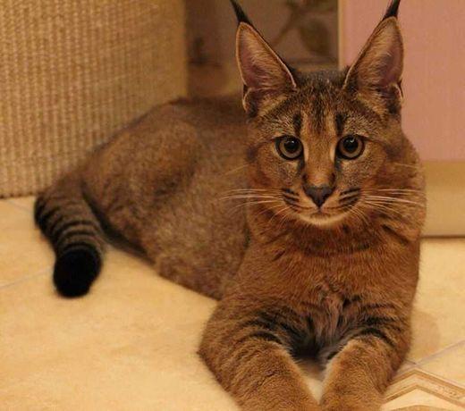 Каракет —кракал з характером домашньої кішкии