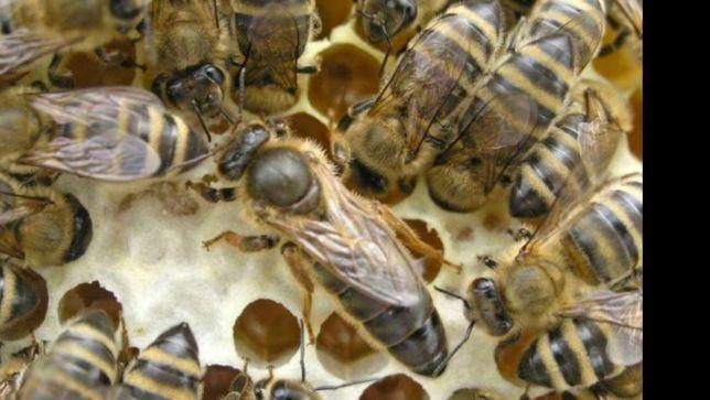 Пчеломатка Карника