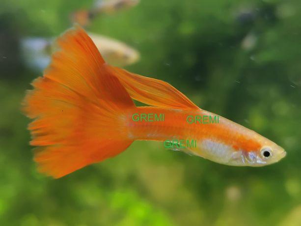 gupik pomarańczowy duży ładny weloniasty
