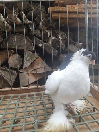 Gołębie ozdobne, Krymek białostocki, krymki