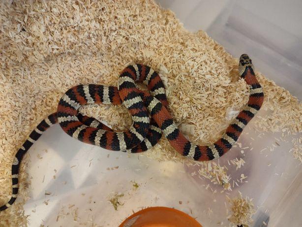 Wąż mleczny lampropeltis
