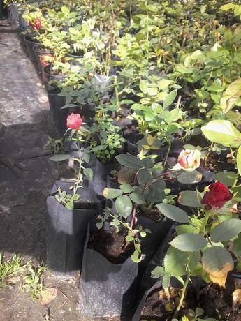 продам саженцы роз с закр корневой