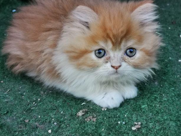 Gatinho persa macho disponível.