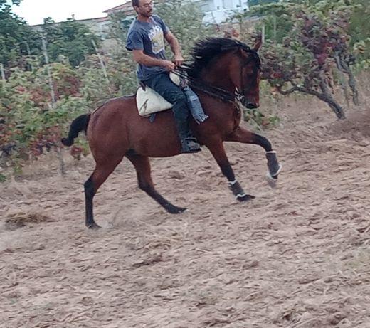 Cavalo capado ideal para crianças ou pessoas sem experiência