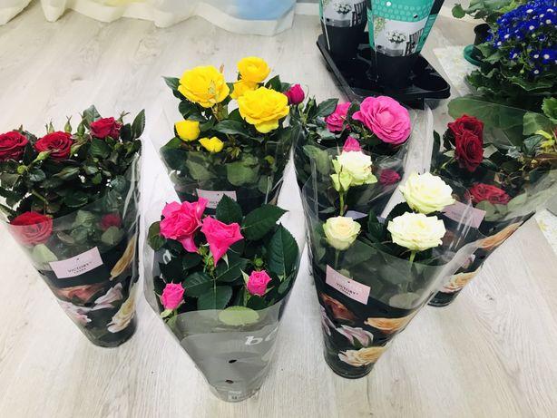 Цветы на 8 марта.Шикарная роза.Роза в горшке.