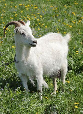 Продам дійні кози , Коза