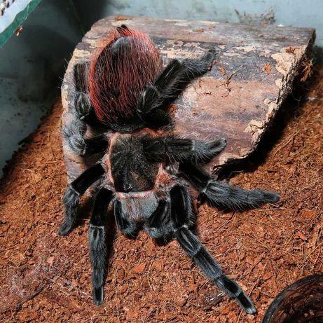 Экзотическое животное тарантул паук птицеед  vagans живут до 20 лет