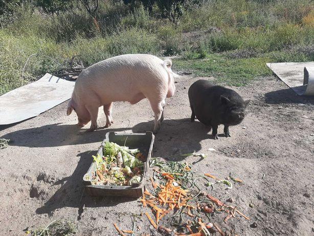 Vendo porco inteiro pietran