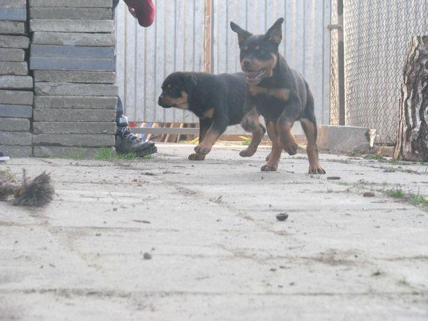 Rottweilery z rodowodem ZKwP