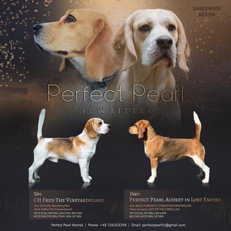 Beagle szczenieta FCI rasowe chlopiec bicolore