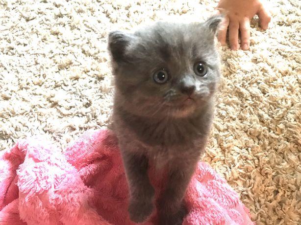 Шотландские котята Шотланскі кошенята: скоттиш фолд и скоттиш страйт