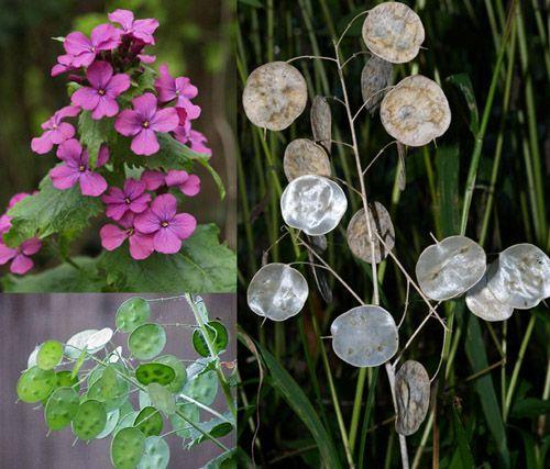 Сухоцветы, Лунария, лунник, Монетное дерево, серебрянный доллар Семена