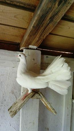 Pawik, Pawiki, gołębie ozdobne