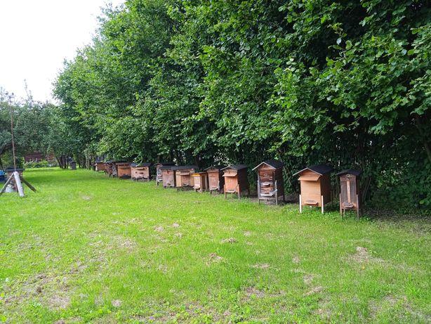 Pszczoły, rodziny pszczele w ulach warszawskich zwykłych