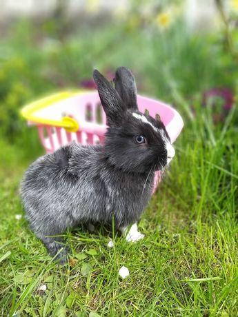 Продам декоративных кроликов, 2 мес